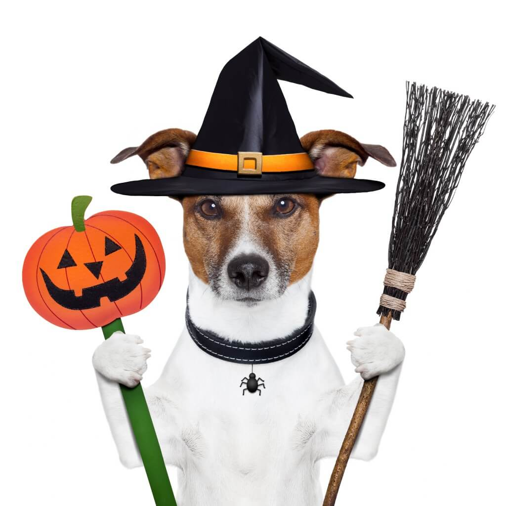 halloween jack russell terrier for article about halloween - Article About Halloween